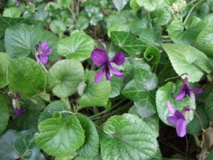 1916 - Dawlish Violets under Threat from the Potato